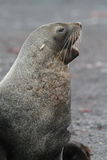 Antarctic fur seal barking, Antarctica Royalty Free Stock Photos