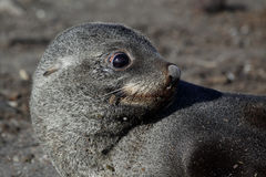 Antarctic fur seal on beach, Antarctica Royalty Free Stock Photo