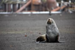An Antarctic fur seal on Deception Island in Antarctica Royalty Free Stock Images
