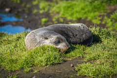 Antarctic fur seal on grass beside pond Stock Image