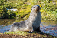 Antarctic fur seal on island in pond Stock Photography