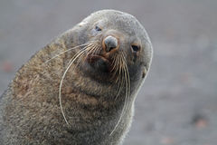 Antarctic fur seal with long whiskers, Antarctica Stock Photos