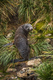 Antarctic fur seal looking back in grass Royalty Free Stock Photo