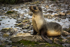 Antarctic fur seal lying on moss-covered rocks Stock Photos