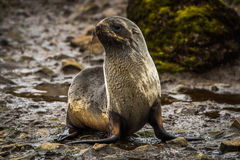 Antarctic fur seal lying beside mossy rock Stock Image
