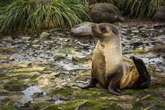 Antarctic fur seal lying on mossy rocks Stock Photos