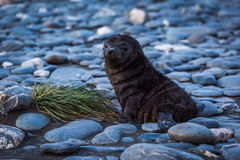 Antarctic fur seal lying on shingle beach Stock Photo