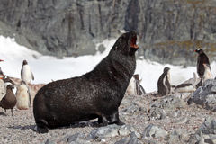 Antarctic fur seal in penguin colony, Antarctica Stock Images