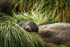 Antarctic fur seal pup asleep in grass Royalty Free Stock Photos