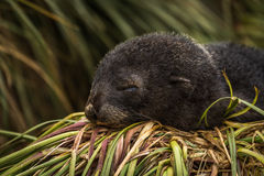 Antarctic fur seal pup asleep on grass Royalty Free Stock Photography