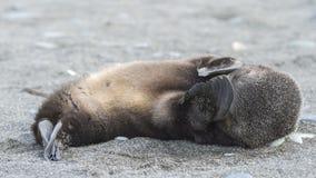 Antarctic fur seal pup close-up in grass Stock Photography