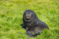 Antarctic fur seal pup close up in grass. At South Georgia Royalty Free Stock Photography