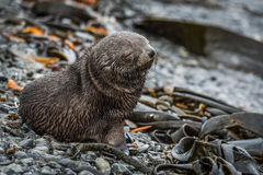 Antarctic fur seal pup with eyes shut Royalty Free Stock Photography