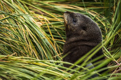 Antarctic fur seal pup among grass tussocks Royalty Free Stock Photos