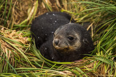 Antarctic fur seal pup with head turned Stock Photos