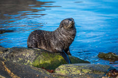 Antarctic fur seal pup on mossy rock royalty free stock images