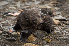 Antarctic fur seal pup scratching with flipper Royalty Free Stock Images