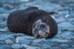 Antarctic fur seal pup on shingle beach Royalty Free Stock Images