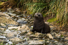 Antarctic fur seal pup sitting in riverbed Royalty Free Stock Image
