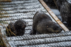Antarctic fur seal and pup in snow stock photo