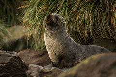 Antarctic fur seal among rocks and grass Royalty Free Stock Images