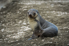 Antarctic fur seal scratching itself on beach Royalty Free Stock Images
