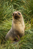 Antarctic fur seal seated in tussock grass Royalty Free Stock Photography