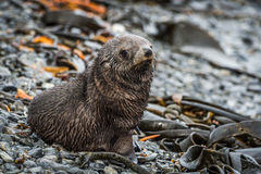 Antarctic fur seal on shingle and seaweed Stock Images