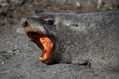 Antarctic fur seal showing teeth, Antarctica. Antarctic fur seal showing its pointed teeth manufactured to holding on to fish and squid, South Shetland Islands Royalty Free Stock Photography
