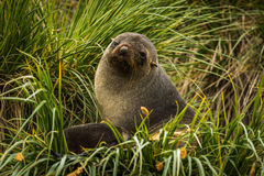 Antarctic fur seal sitting in grass tussocks Royalty Free Stock Images