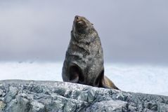Fur seal sitting on rocks in Antarctica. Antarctic fur seal sitting on a rock in Antarctica Royalty Free Stock Images
