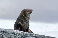 Fur seal sitting on rocks in Antarctica. Antarctic fur seal sitting on a rock in Antarctica Stock Images