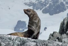 Fur seal sitting on rocks in Antarctica. Antarctic fur seal sitting on rocks with a snow covered mountain in the background in Antarctica Royalty Free Stock Photo