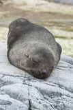 Antarctic fur seal sleeping on the rocks of a small Antarctic is Royalty Free Stock Images