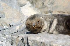 Antarctic Fur Seal snoozing. Antarctic Fur Seal (Arctocephalus gazella) resting  near Rothera, Antarctic peninsula Stock Photography