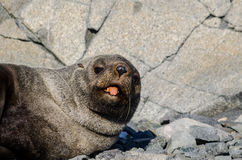 Antarctic Fur Seal sticking tongue out Stock Photos