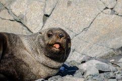 Antarctic Fur Seal sticking tongue out. Antarctic Fur Seal (Arctocephalus gazella) asleep near Rothera, Antarctic peninsula Stock Photos