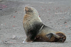 Antarctic fur seal on volcanic beach, Antarctica. Antarctic fur seal resting on the black volcanic beach of Deception Island, South Shetland Islands, Antarctica Stock Photos