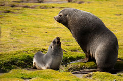 Antarctic Fur Seal with young Pup Royalty Free Stock Photos