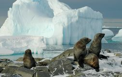 Antarctic fur seals. Some fur seals in front of a beautiful Antarctic iceberg scenery. Picture was taken on Adelaide Island during a 3-month Antarctic research Stock Photo