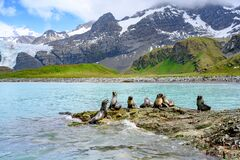 Free Antarctic Fur Seals Playing On Rocks In Front Of Mountains, Glacier And Penguin Colony On Beach In South Georgia Royalty Free Stock Photo - 215512425