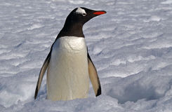 Antarctic Gentoo penguin. Gentoo penguins wading through the snow in Antarctica stock photos
