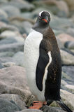 Antarctic Gentoo penguin Stock Image