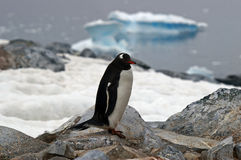 Antarctic Gentoo penguin. Gentoo penguin on a rocky outcrop in Antarctica royalty free stock image