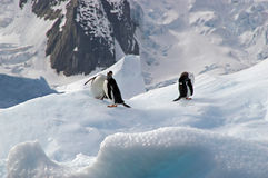 Antarctic Gentoo penguins. Three gentoo penguins resting on an iceberg in Antarctica royalty free stock photo
