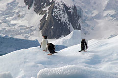 Antarctic Gentoo penguins. Three gentoo penguins resting on an iceberg in Antarctica royalty free stock images