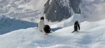 Antarctic Gentoo penguins. Three gentoo penguins resting on an iceberg in Antarctica stock photo