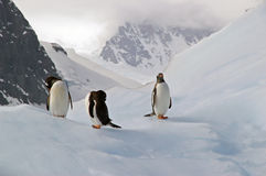 Antarctic Gentoo penguins. Three gentoo penguins resting on an iceberg in Antarctica royalty free stock photos