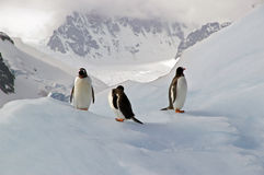 Antarctic Gentoo penguins. Three gentoo penguins resting on an iceberg in Antarctica royalty free stock photography