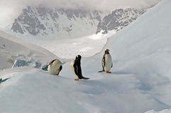 Antarctic Gentoo penguins. Three gentoo penguins resting on an iceberg in Antarctica stock image